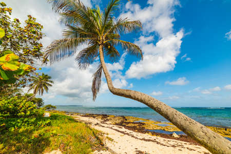 Palm tree over the sand in Autre Bord beach in Guadeloupe, French west indies. Lesser Antilles, Caribbean sea