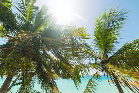 Coconut palm trees under a shining sun in Guadeloupe, Caribbean sea