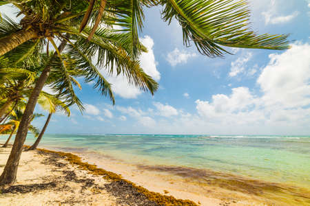 Palms by the sea in Bois Jolan beach in Guadeloupe, French west indies. Lesser Antilles, Caribbean sea