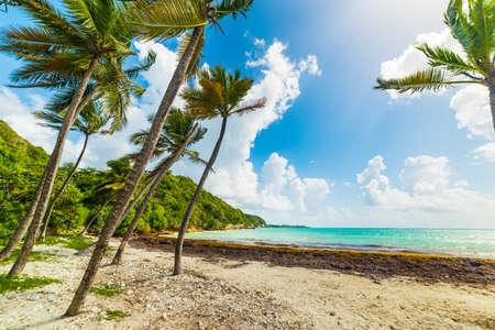 Coconut palm trees in Pointe de la Saline beach in Guadeloupe, Caribbean sea