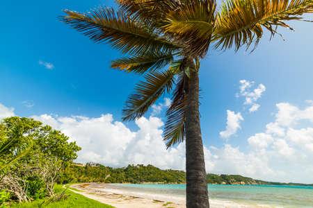 Coconut palm tree in Pointe de la Saline beach in Guadeloupe, Caribbean sea