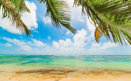 Palm trees and turquoise sea in Bois Jolan beach in Guadeloupe, French west indies. Lesser Antilles, Caribbean sea