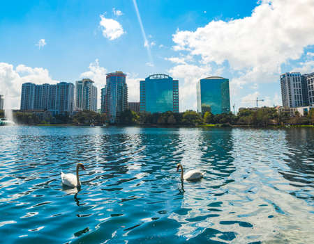 Two white swans on the water in Lake Eola park in Orlando, USA 스톡 콘텐츠