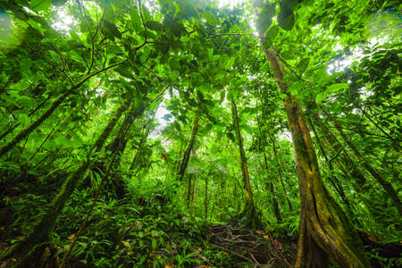 Tall trees in Basse Terre jungle. Guadeloupe, Lesser Antilles 스톡 콘텐츠 - 126984280