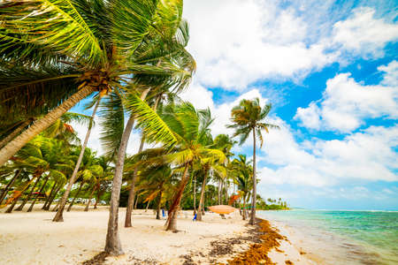 Coconut palm trees in Bois Jolan beach in Guadeloupe, French west indies. Lesser Antilles, Caribbean sea Banque d'images
