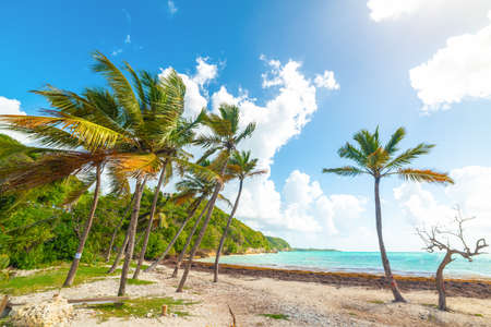 Coconut palm trees in Pointe de la Saline beach, french west indies. Lesser Antilles, Caribbean sea Imagens
