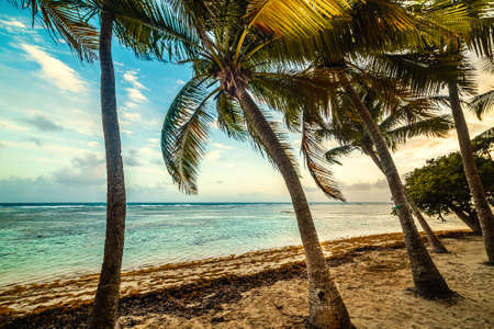 Coconut palm trees in Bois Jolan Beach at sunset, French west indies. Lesser Antilles, Caribbean sea Zdjęcie Seryjne