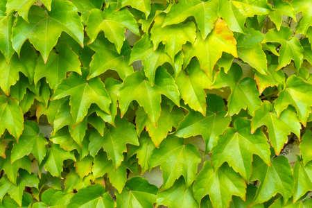 Ivy pattern on a brick wall. Horizontal orientation. Stock fotó