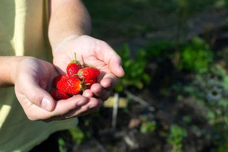 Red strawberries in hands. Autumn harvest. Horizontal orientation. Stock fotó
