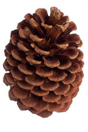 jeffrey: Jack Pine cone from Lake Tahoe region