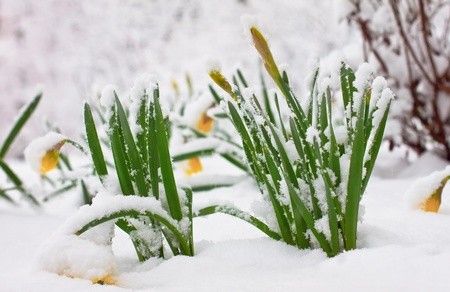 early spring snow: Daffodils in late spring snow Stock Photo