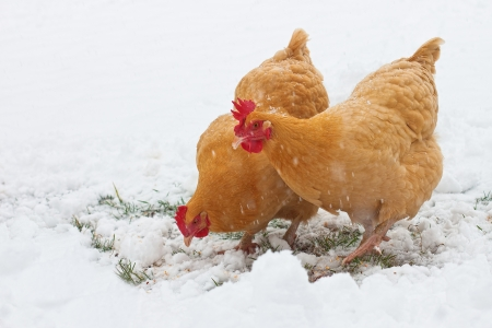 hen and chicken: Chickens in the snow Stock Photo