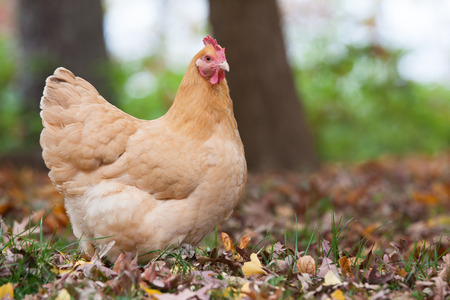 A free range hen forages in the fall woods