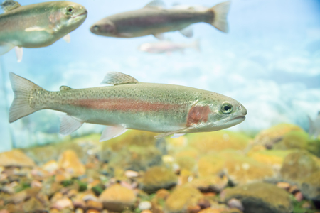 Close up view of a rainbow trout swimming