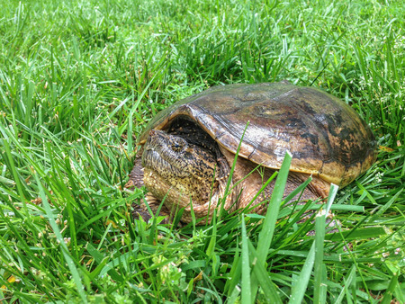 snapping turtle: A close up of a snapping turtle sitting in long grass