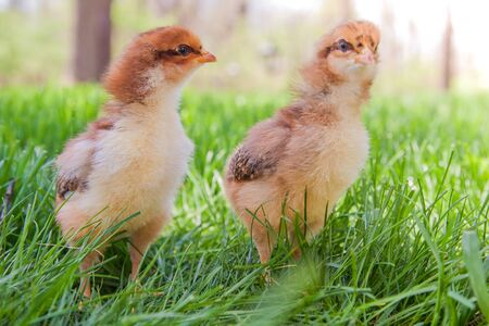 exploring: Two fluffy new chicks exploring the grass in the spring Stock Photo