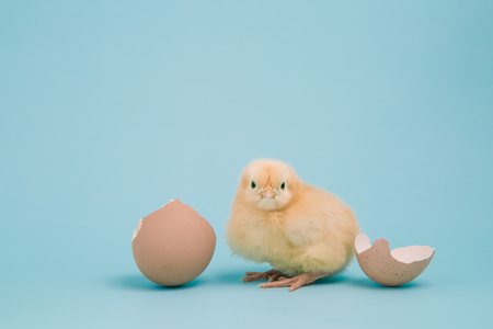 pullet: A fluffy new Buff Orpington chick rests near a cracked eggshell on a pale blue background