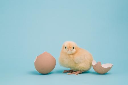 gallina con huevos: Un esponjoso pollito Buff Orpington descansa cerca de una cáscara de huevo roto sobre un fondo azul pálido