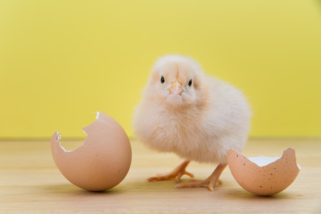 buff: Fluffy Buff Orpington chick stands by cracked eggshell on a wood plank with yellow background
