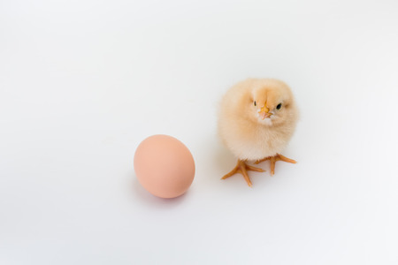 pullet: A new fluffy yellow buff orpington chick stands near an unhatched brown egg on white background Stock Photo