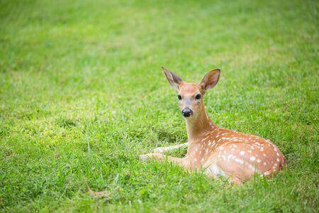 fawn: Deer fawn resting in a green grassy lawn Stock Photo
