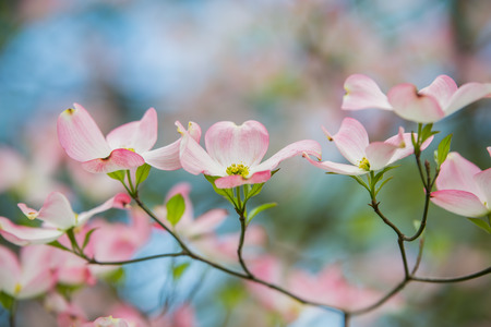 Branch of eastern pink dogwood trees in bloom in the spring with blue sky background