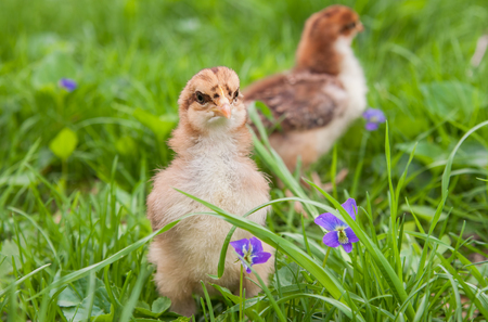 Two Easter chicks exploring outside in the grass with flowering wild violets