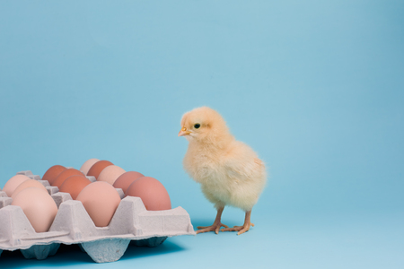A newly hatched Buff Orpington chick stands near an egg carton of fresh brown eggs on blue background