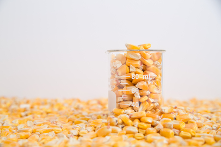 Corn in beaker used in research of food products, GMOs, and biofuels Stockfoto