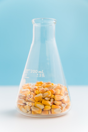 Corn in erlenmeyer flask on blue used in research of food and biofuels