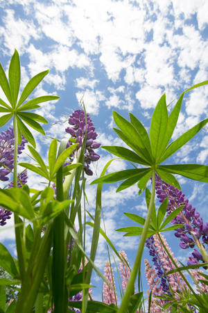 View of wild lupin flowers from below looking up to blue sky Stock Photo