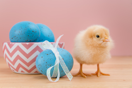 pullet: Yellow fluffy Easter chick looking at camera on pink background stands by bowl of blue speckled eggs Stock Photo