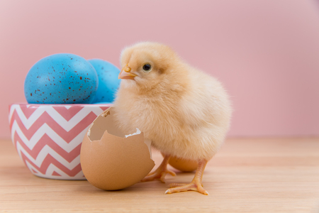 pullet: Yellow fluffy Easter chick looking at camera on pink background stands by bowl of blue speckled eggs and broken egg shell
