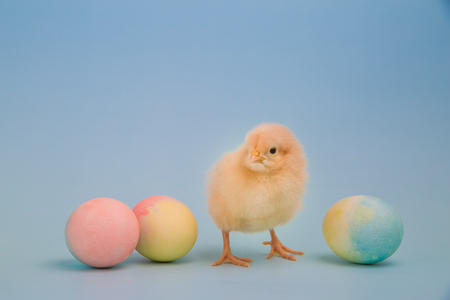 pullet: A fluffy yellow chick stands facing the camera in a line of dyed Easter eggs on light blue background