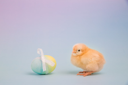 A fluffy yellow chick sits next to a single Easter egg on a pink and blue background Stock Photo