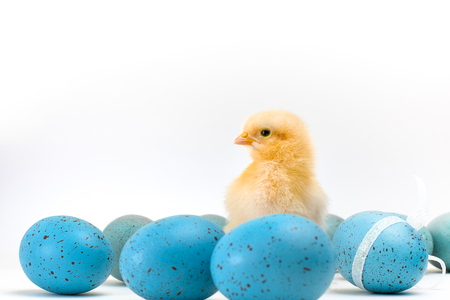 Yellow fluffy Easter chick stands amid a bunch of speckled blue eggs