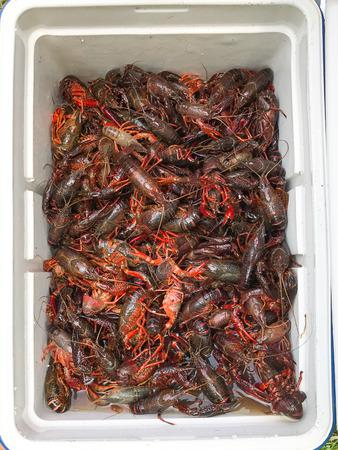 Cooler full of live Louisiana crawfish before a crawfish boil