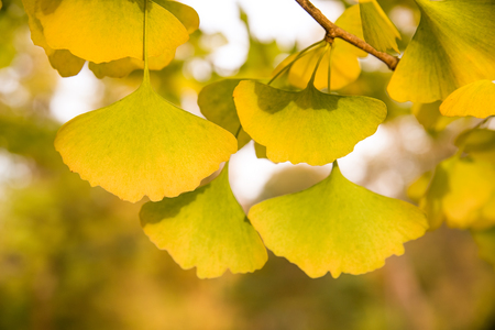 Cluster of yellow ginko leaves in the autum sun with fall colors in the backcground