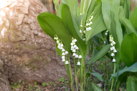 White bell shaped flowers hang from lily of the valley growing stock photo white bell shaped flowers hang from lily of the valley growing in the forest mightylinksfo