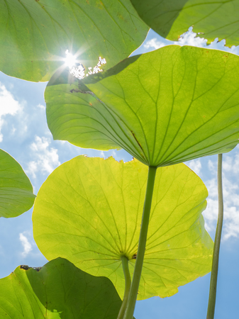 View from underneath large lily pads looking up at the sun and blue sky