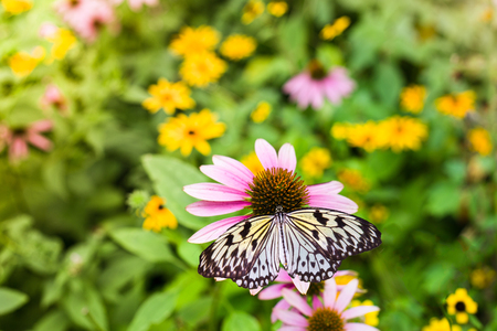 Pale yellow paper kite butterfly on a purple coneflower Stock Photo