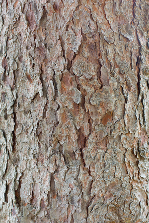 Closeup of pine tree showing roughly textured bark Stock Photo
