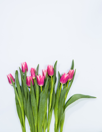 Row of bright pink spring tulips on a pale blue background
