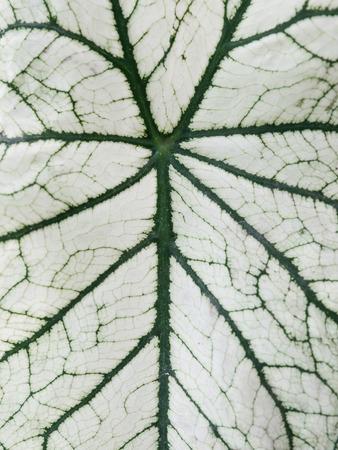 Close up of green and white caladium leaf