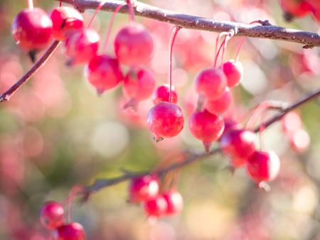 Close up image of ripe crab apples on a branch in the fall