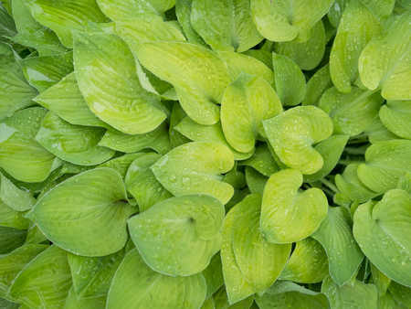 Green new growth on hosta plant in spring after rainfall