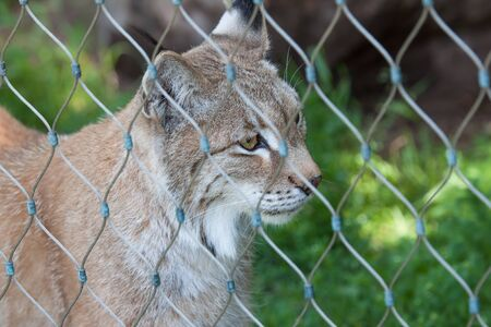 Caged bobcat in a wildlife preserve stares off into the distance