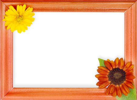 golden daisy: frame with 2 flowers isolated on a white background