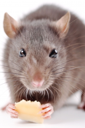 furry tail: the rat with cheese on a white background