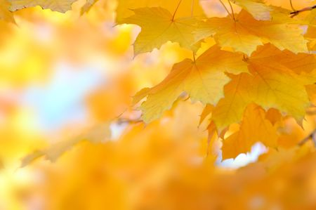yellow autumn leaves Stock Photo - 8193267